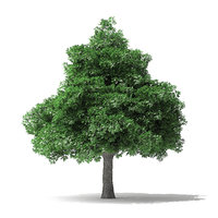 white ash tree 7m 3D model