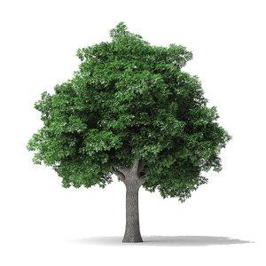 3D model white ash tree 10m