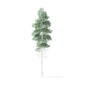 quaking aspen tree 6 3D