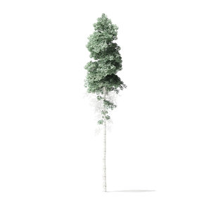 3D model quaking aspen tree 11m