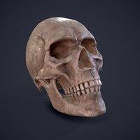 3D skull anatomy science model