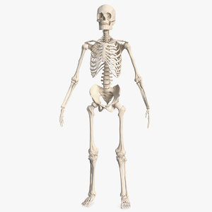 male skeleton body 3D