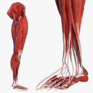3D human leg muscular