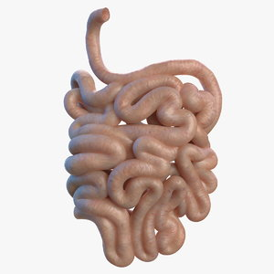 3D model human small intestine