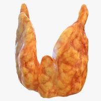 human thyroid 3D model