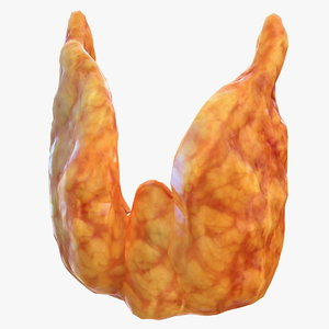 human thyroid 3D model