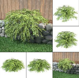 3D model lace shrub stephanandra incisa