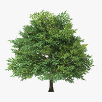 3D sessile oak tree