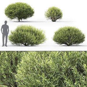 shrubs 1 salix purpurea model