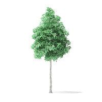american basswood tree 7m 3D model