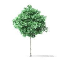 american basswood tree 3 3D model