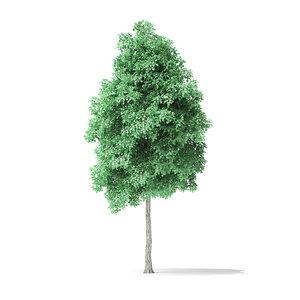 3D american basswood tree 6m