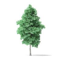 american basswood tree 7 3D model