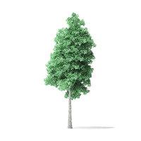 american basswood tree 9m 3D model