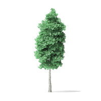 3D american basswood tree 10