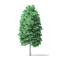 3D model american basswood tree 10m