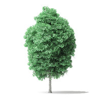 american basswood tree 8 3D