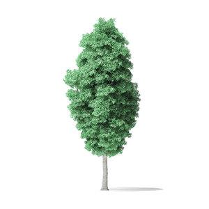 american basswood tree 14 3D model