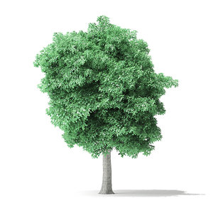 3D american basswood tree 8