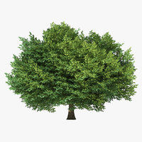 3D sessile oak tree model