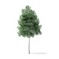 3D boxelder maple tree 4m model