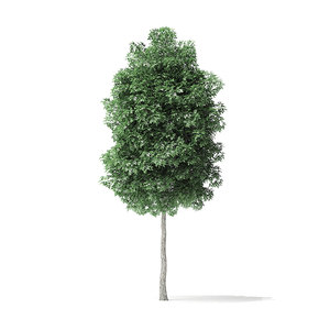 boxelder maple tree 5 model