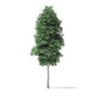3D boxelder maple tree 6 model