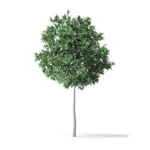 3D boxelder maple tree 5 model