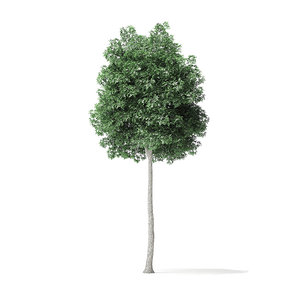 3D boxelder maple tree 7