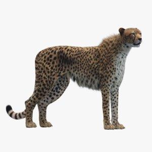 3D model cheetah rigged