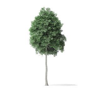 boxelder maple tree 8 model