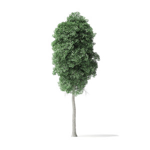 3D boxelder maple tree 11m model