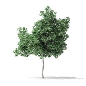 boxelder maple tree 5 3D model