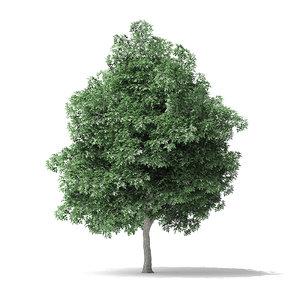 3D model boxelder maple tree 8m