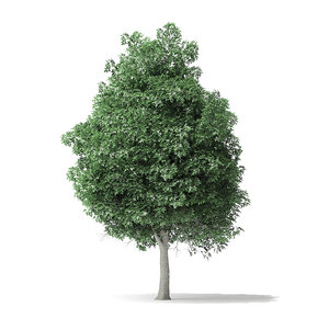 boxelder maple tree 11m 3D model