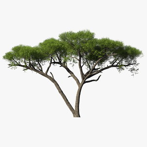 african acacia tree south africa model