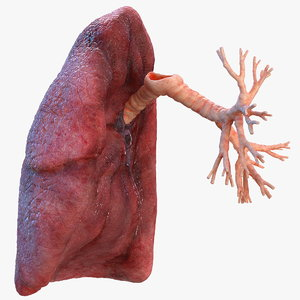 human lung right bronchi 3D model