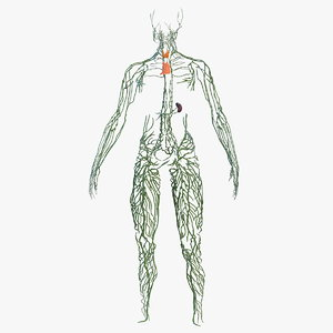 3D human lymphatic body