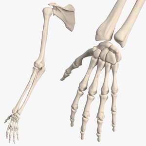 human arm skeleton 3D