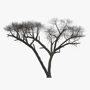 3D winter acacia tree model