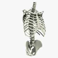 3D model rib cage spine pelvis
