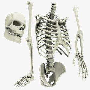 3D skeletal element spine pelvis