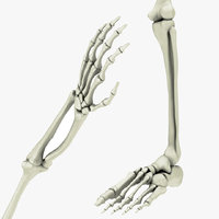 skeletal hand arm leg foot 3D