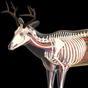 deer anatomy model