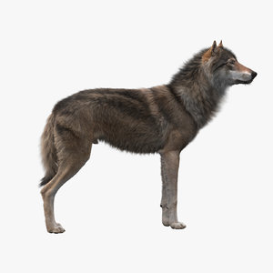 3D realistic rigged wolf