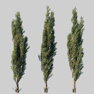 3D populus tree model