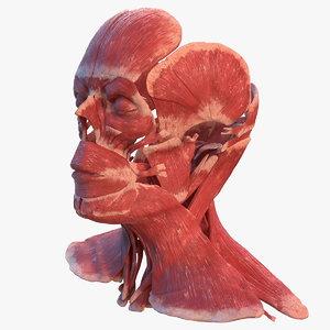 human head muscular male 3D model