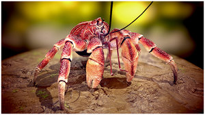 coconut crab 3D model