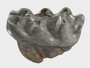 scanned molar fossil 3D