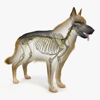 skin dog skeleton nerves model